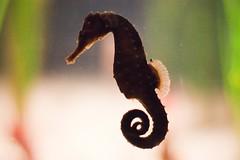 seahorse, animal, macro photography, fauna, close-up,