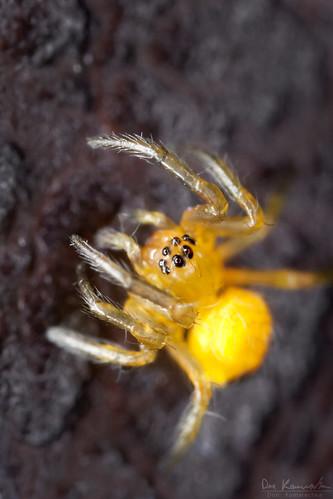 baby ontario canada macro nature yellow closeup canon garden insect spider arachnid barrie araneusdiadematus 1mm mpe europeangardenspider canoneos5dmarkii mpe65mmf2815xmacrophoto