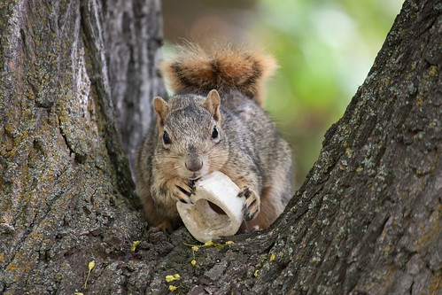 Squirrel with a bone.
