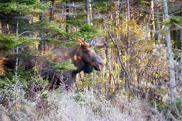 Smiling Moose!   Flickr - Photo Sharing! Smiling