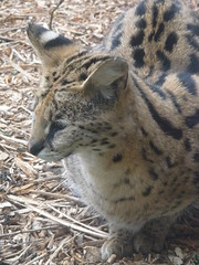 animal, leopard, zoo, small to medium-sized cats, mammal, fauna, wild cat, ocelot, whiskers, wildlife,
