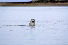 Seal popping up to say hello