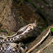 Nose-horned Viper - Photo (c) Mircea Nita, some rights reserved (CC BY)