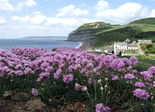 flowers on the cliff top - South West Coast Path