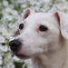 Kelly The White Jack Russell Terrier by simanphotography