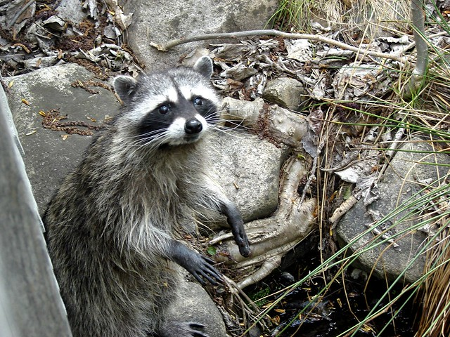 Raccoon as predator flickr photo sharing for Do raccoons eat fish