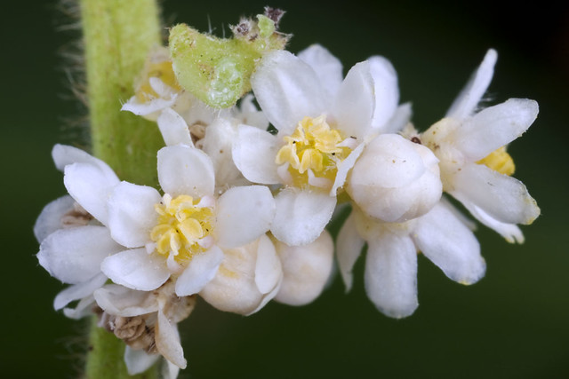 Rhus taitensis flowers