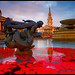 London - Armistice Day and Red Poppies in Trafalgar Square Fountains, Sunset