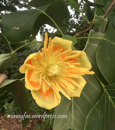 tulip tree flower photo front