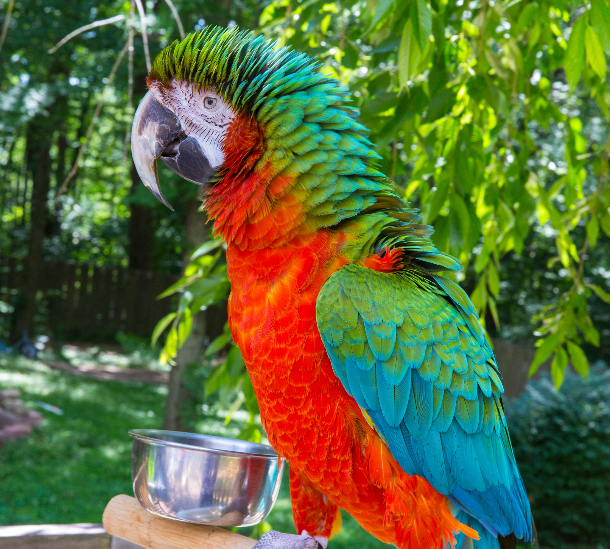 Catalina or Harlequin? - Parrot Forum - Parrot Owner's Community