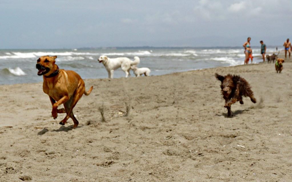 Juoksevia koiria Bau beachilla
