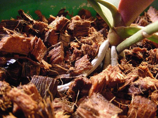 orchid transplant 004 flickr photo sharing. Black Bedroom Furniture Sets. Home Design Ideas