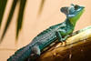 "<a href=""http://www.flickr.com/photos/charlestilford/4279210007/"">Photo of Basiliscus plumifrons by Charles Tilford</a>"