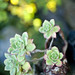 Fancy Aeonium Haworthii