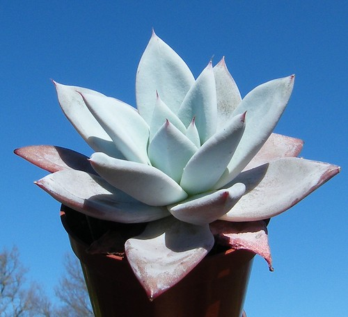 Echeveria colorata 'Mexican Giant'