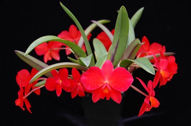 (Slc Tangerine Jewel 'Magnifique' 4N x Sl Minipet 'SVO')