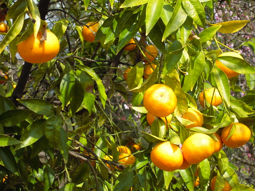 Tangerines in the backyard