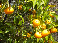 calamondin, citrus, branch, yellow, tree, plant, kumquat, yuzu, flora, produce, fruit, food, bitter orange, tangerine, mandarin orange,