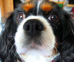 dog breed, animal, dog, pet, mammal, king charles spaniel, spaniel, close-up, cavalier king charles spaniel,