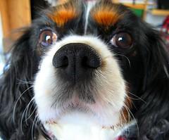 puppy(0.0), japanese chin(0.0), dog breed(1.0), animal(1.0), dog(1.0), pet(1.0), mammal(1.0), king charles spaniel(1.0), spaniel(1.0), close-up(1.0), cavalier king charles spaniel(1.0),