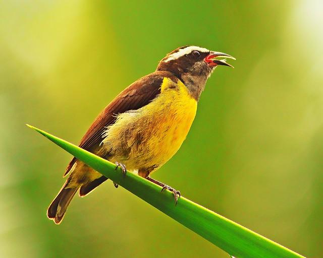 Imagen de una de las aves del QUindio: Mielero Comun (Coereba Flaveola)