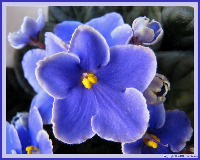 Saintpaulia violeta africana violette africaine for Violette africane