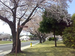 Cherry trees on the street