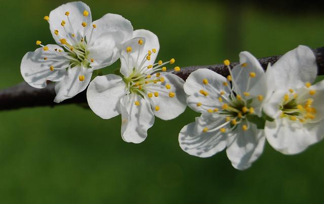 giardino, cura, manutenzione, green galletti, pero, alberi da frutto