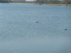 Grebes, at it