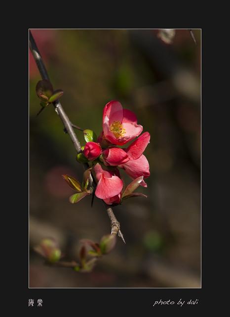 海棠花, 日本贴梗海棠, Chaenomeles japonica