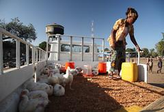 大清早,非洲婦女正把雞隻運到市場上賣。(來源:ILRI)