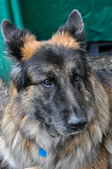 eurasier(0.0), greenland dog(0.0), cairn terrier(0.0), wolfdog(0.0), saarloos wolfdog(0.0), dog breed(1.0), german shepherd dog(1.0), animal(1.0), dog(1.0), pet(1.0), old german shepherd dog(1.0), norwegian elkhound(1.0), tervuren(1.0), belgian shepherd(1.0), shiloh shepherd dog(1.0), carnivoran(1.0),