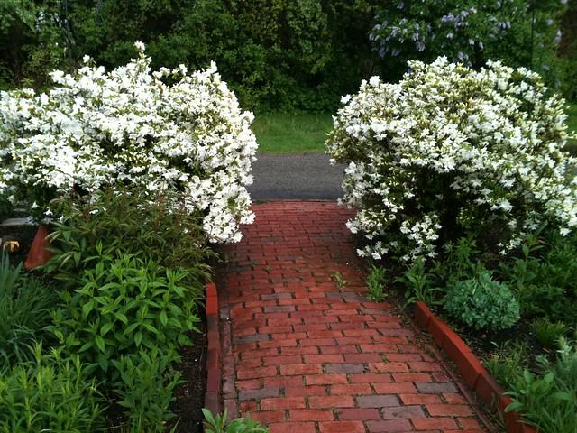 White Azalea Bushes