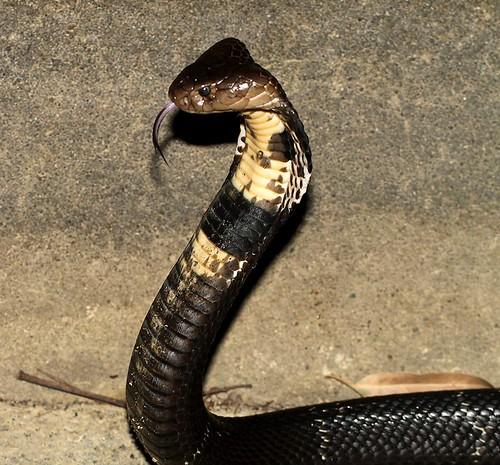 Chinese Cobra (Naja atra)