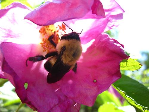 Bees at BBG