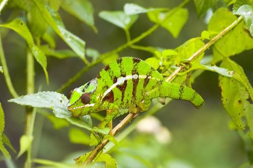 Leopard Chameleon