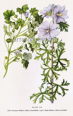 Common Mallow 1950s North American Wildflower Illustration