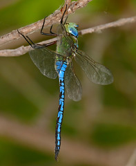 Emperor Dragonfly (Anax imperator) male resting ... - Photo of Revest-les-Roches