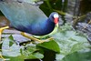 Purple Gallinule, Everglades 2015