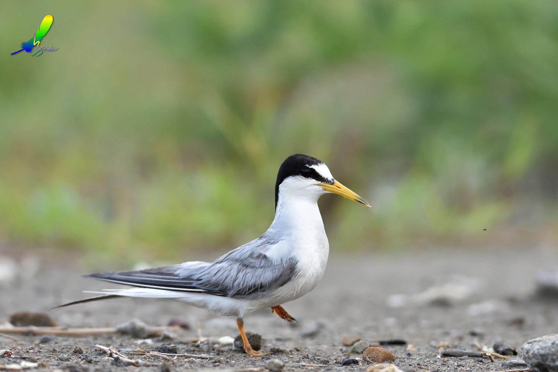 Little_Tern_5009