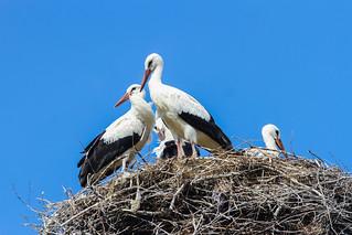 Family of White storks