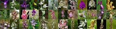 Gallery European orchids mosaic 1 by Bas Kers (NL)