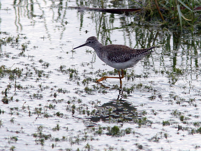 Lesser Yellowlegs 2-20091227