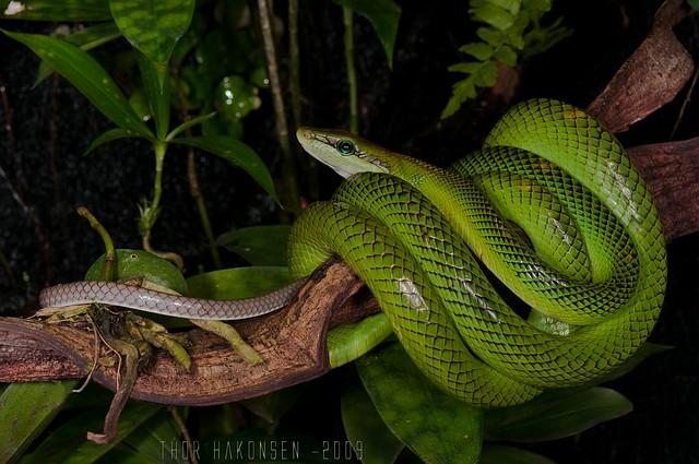 Gonyosoma oxycephalus - Red-tailed Racer