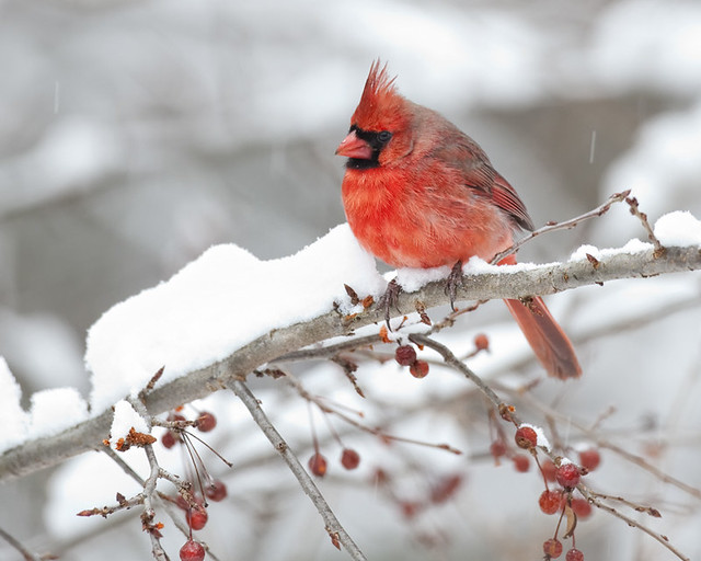 Cardinal in snow flickr photo sharing - Pictures of cardinals in snow ...