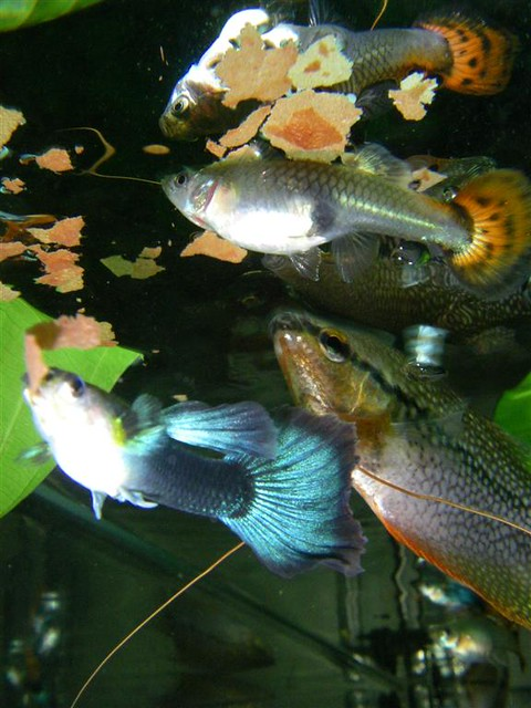 Guppies and pearl gourami. The female is heavily pregnant.