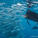 Atlantic sailfish (Istiophorus albicans) with sardine in mouth