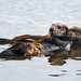 1 of 4 Sea Otter (Enhydra lutris) (marine mammal) Mother with Pup