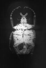 Goliathus x-ray
