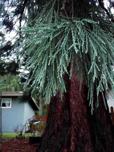 neighborhood sequoia tree   P1010029